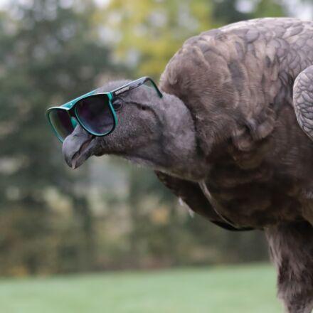 baby condor wearing sunglasses, Canon EOS 7D MARK II