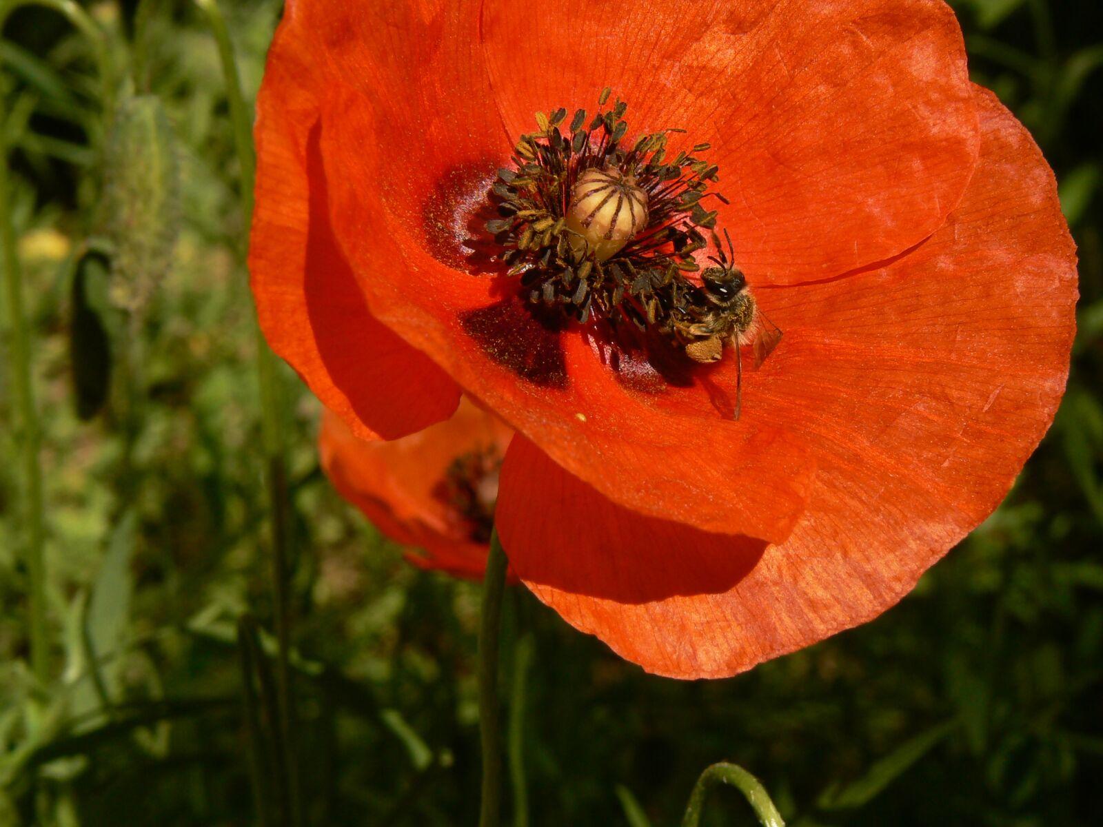 "Panasonic DMC-FZ7 sample photo. ""Flower, poppy, nature"" photography"