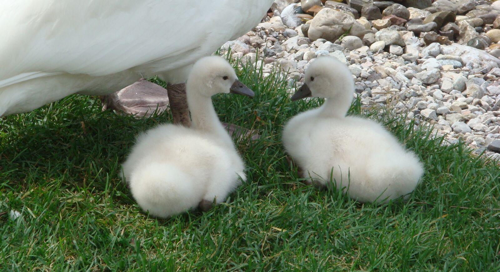 animals, swan, small