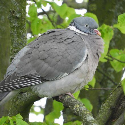 dove, plumage, bird, Nikon COOLPIX B700