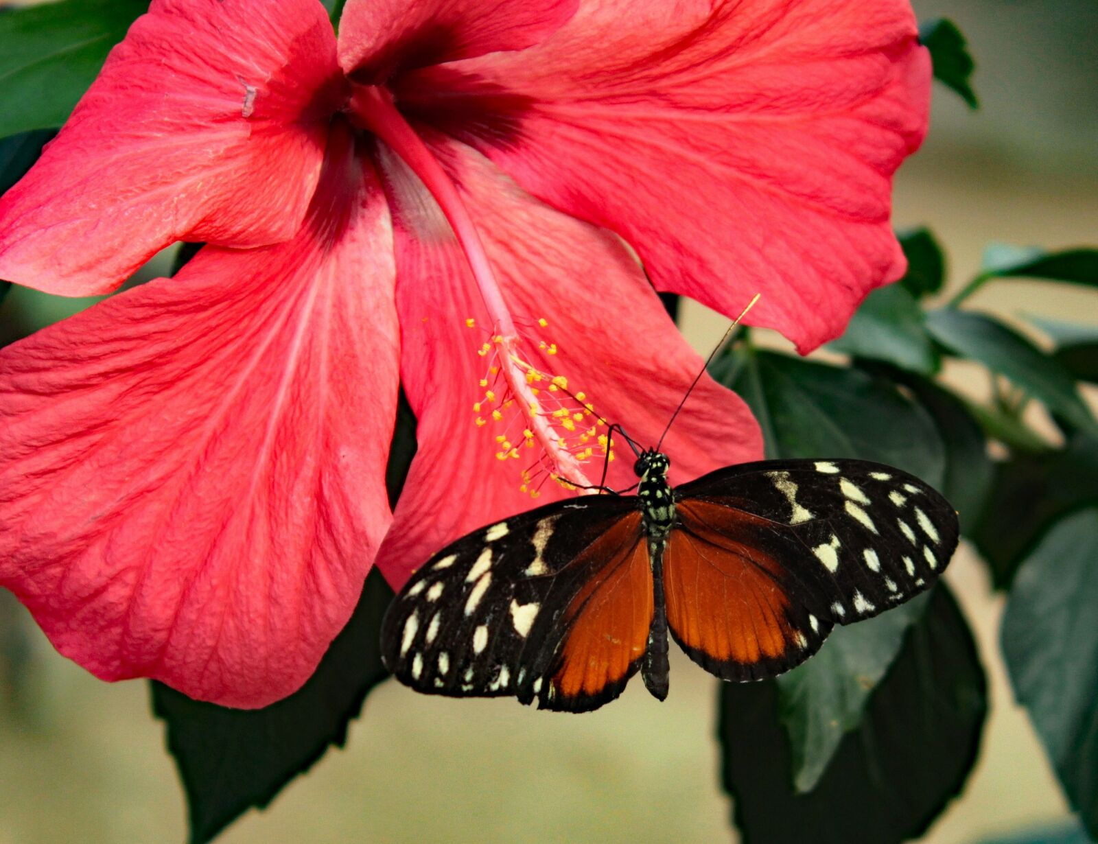 """Canon EOS 600D (Rebel EOS T3i / EOS Kiss X5) sample photo. """"Heliconius hecale, butterfly, hibiscus"""" photography"""