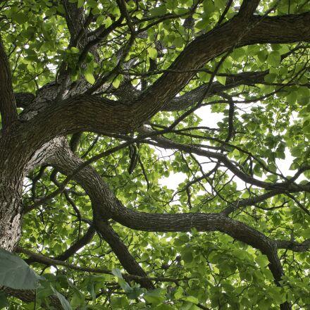 catalpa, catalpa tree, tree, Sony NEX-5N