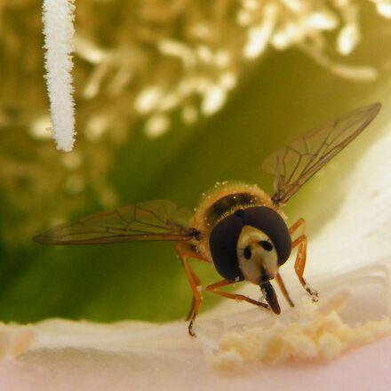 bee, proboscis, insect, Fujifilm FinePix S8100fd