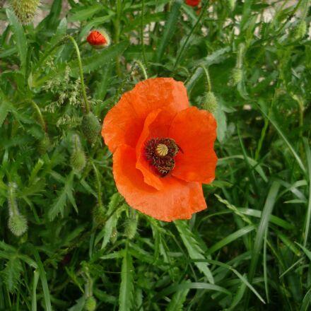 poppy, papaver rhoeas, flowers, Panasonic DMC-FS3