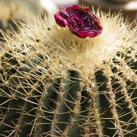 cactus, plant, cacti, Canon EOS 550D