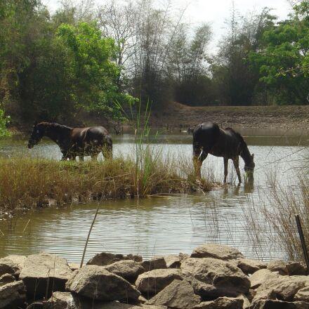 wildlife, horses, india, Sony DSC-P10