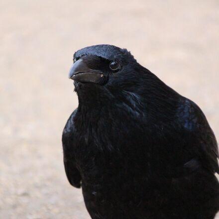 raven, birds, raven bird, Canon EOS 100D
