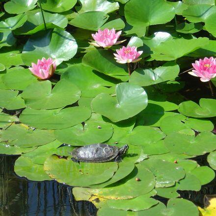 water lilies, pond, turtle, Sony DSC-P10