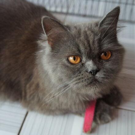persian, cat, Sony NEX-C3