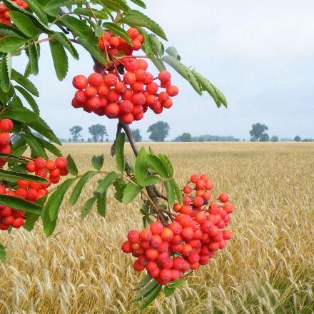 landscape, wheat field, berries, Fujifilm FinePix S8100fd