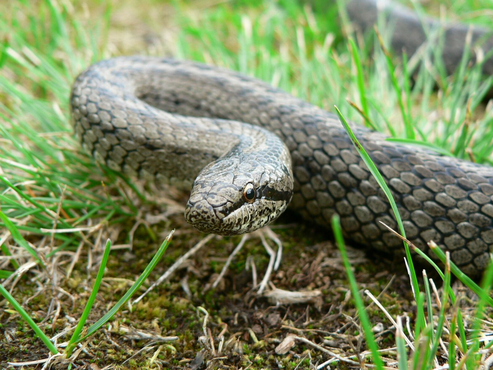 reptiles, snake