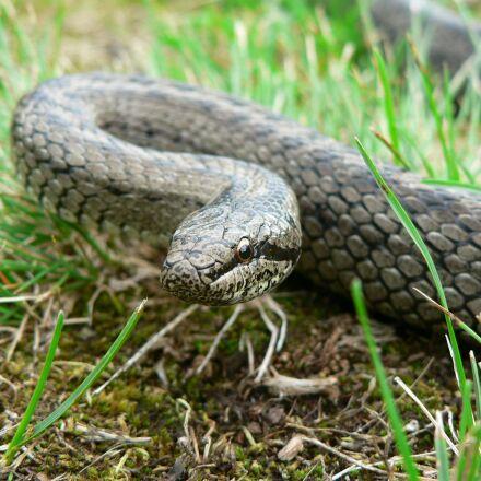 reptiles, snake, Panasonic DMC-FZ5