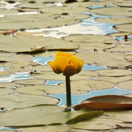 yellow pond lily, flower, Fujifilm FinePix S8400W