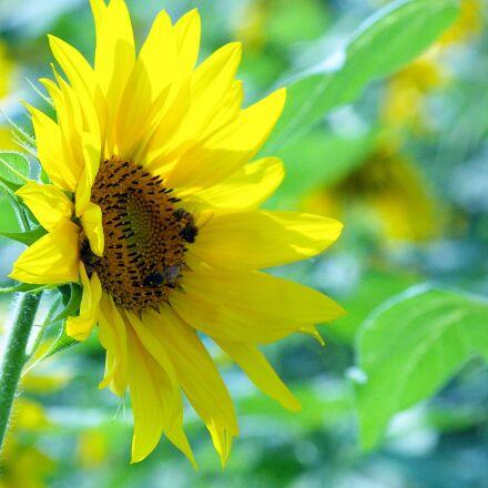 flowers, sunflower, solar, Samsung GX-1L
