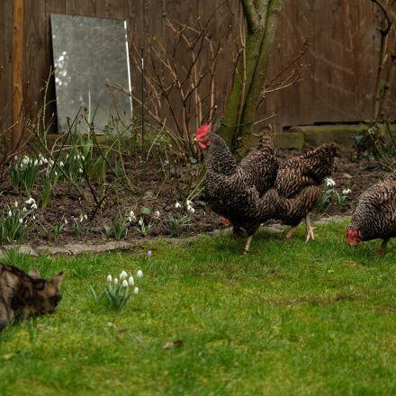 cat, chicken, chickens, Fujifilm X-T1