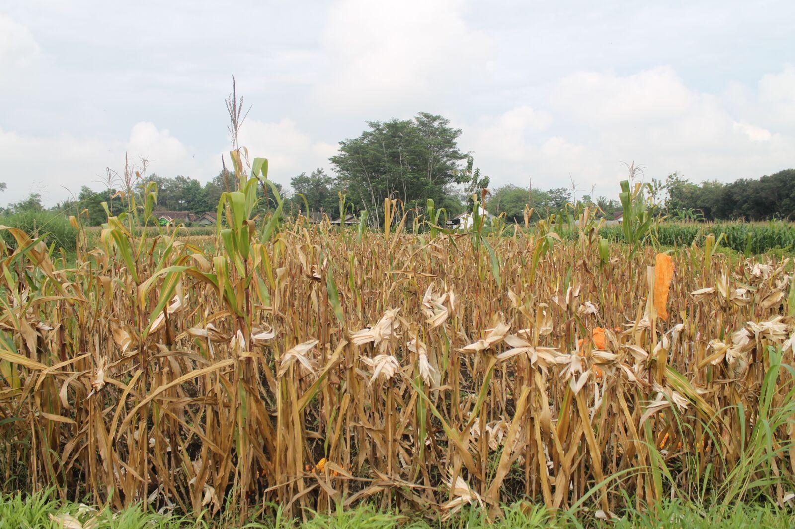 "Canon EOS 1100D (EOS Rebel T3 / EOS Kiss X50) sample photo. ""Corn, farmer, harvest"" photography"