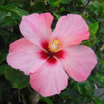hibiscus, flowers, pistil, Canon IXY DIGITAL 800 IS