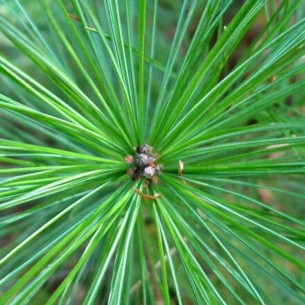 pine tree, pine needles, Canon POWERSHOT A550