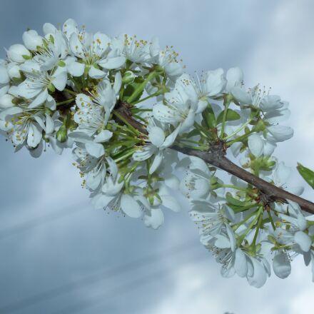spring, apple tree, white, Fujifilm FinePix HS25EXR