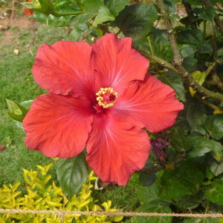 hibiscus, garden, flower, plant, Panasonic DMC-TS2