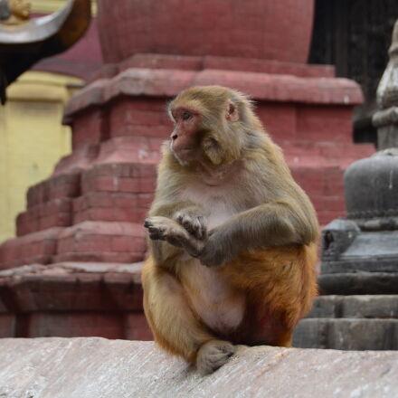 monkey, temple, Nikon D5100