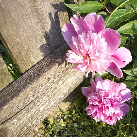 flower, flowers, nature, peonies, Pentax K-01