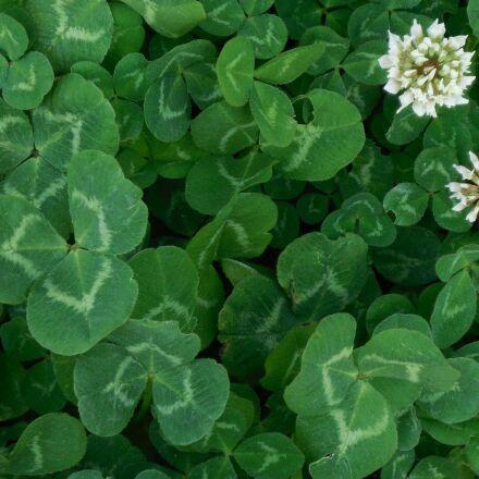 clover, nature, green, Nikon COOLPIX S5200