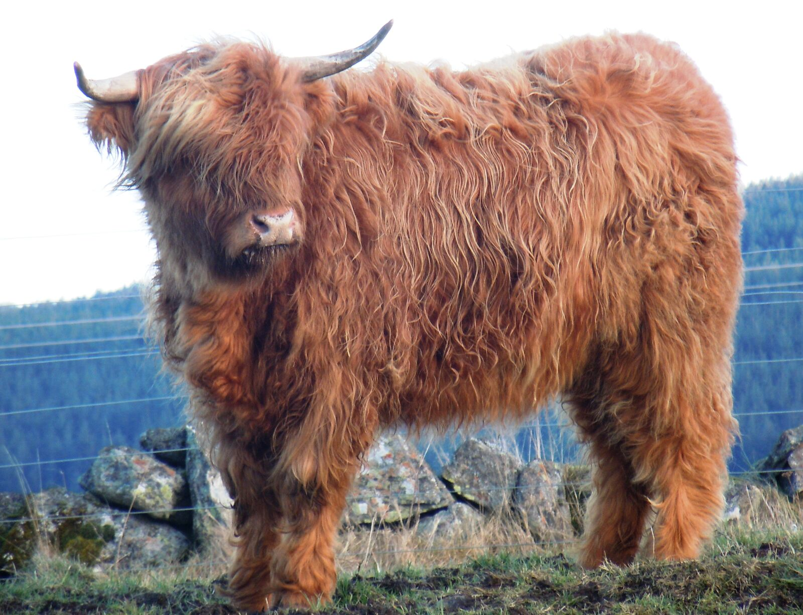 """Nikon Coolpix S8000 sample photo. """"Highland, cattle"""" photography"""