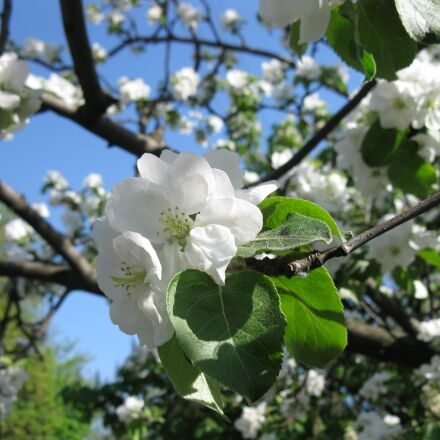 apple tree, flowers, blooming, Canon POWERSHOT A2000 IS
