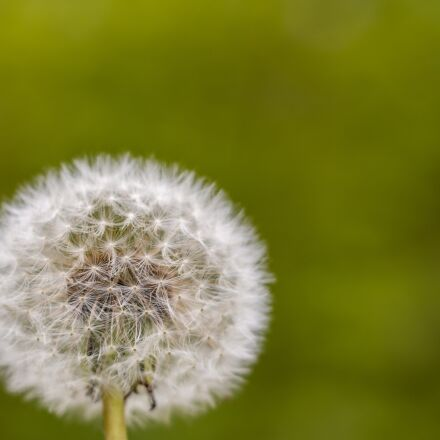 dandelion, flowering close, pointed, Canon EOS 700D