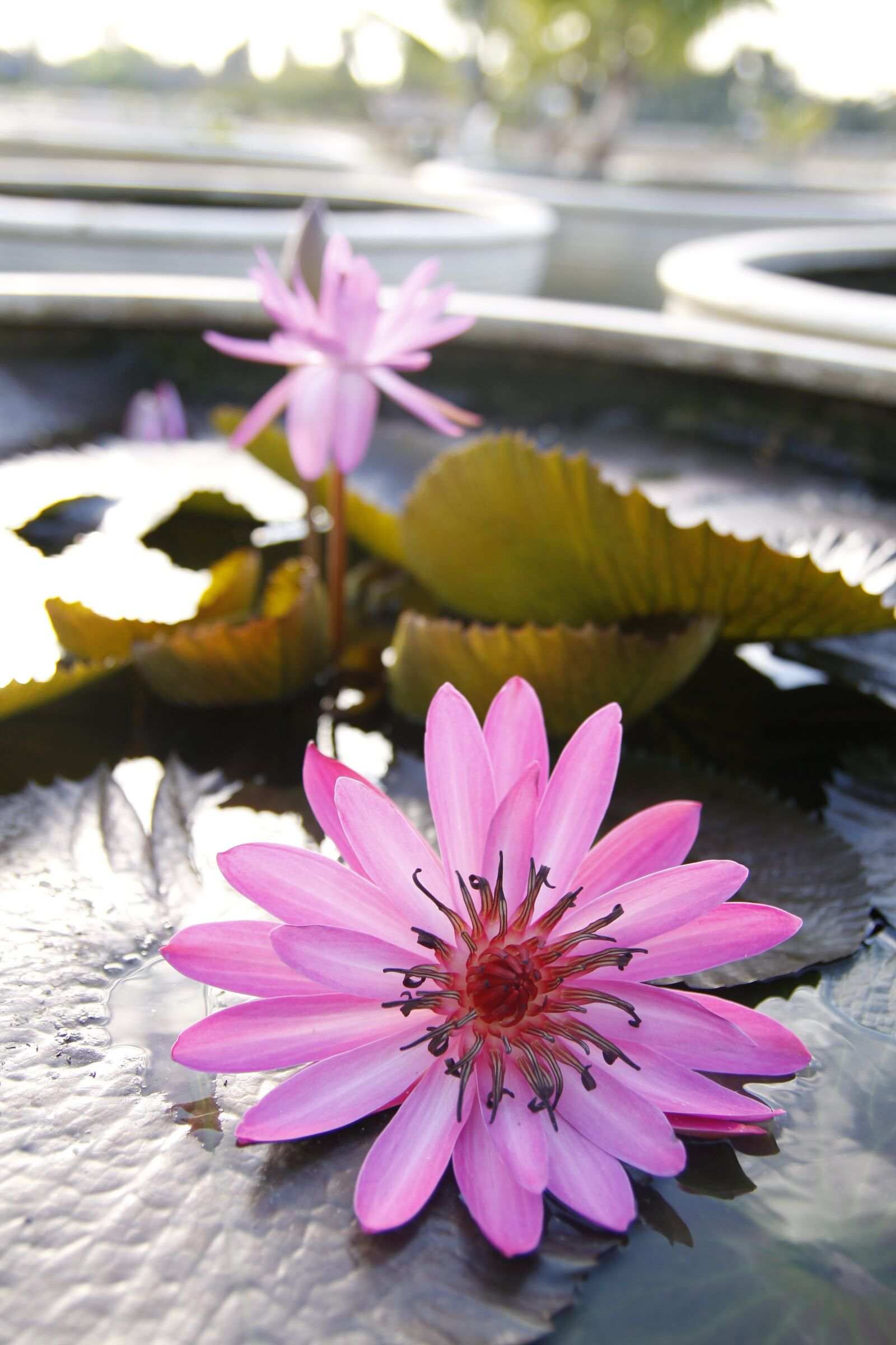 """Canon EOS 50D sample photo. """"Purple, water lily, bloom"""" photography"""