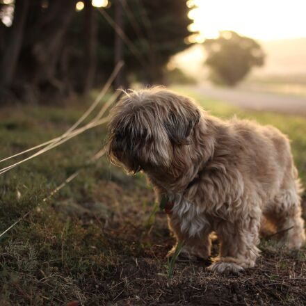 afternoon, animal, dog, Canon EOS 600D