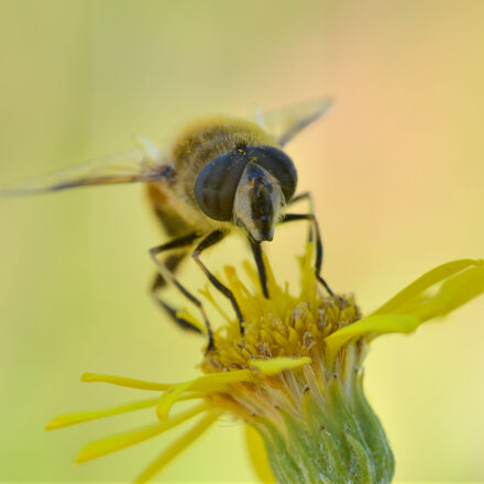 bee, insect, taking, nectar, Nikon D7000
