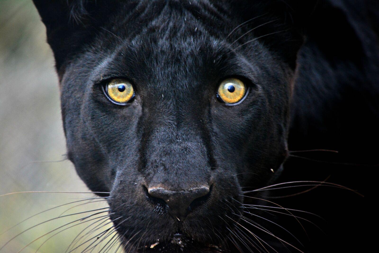 "Nikon D5200 sample photo. ""Africananimals, bigcat, bigcats, bigeyes"" photography"