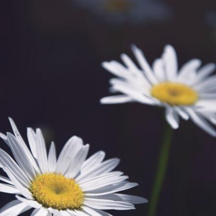 daisies, daisy, flowers, fower, Nikon D3300