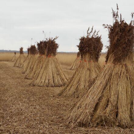 reed, cane harvest, swamp, Nikon COOLPIX S3700