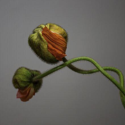 poppy, flowers, plant, Canon EOS 600D