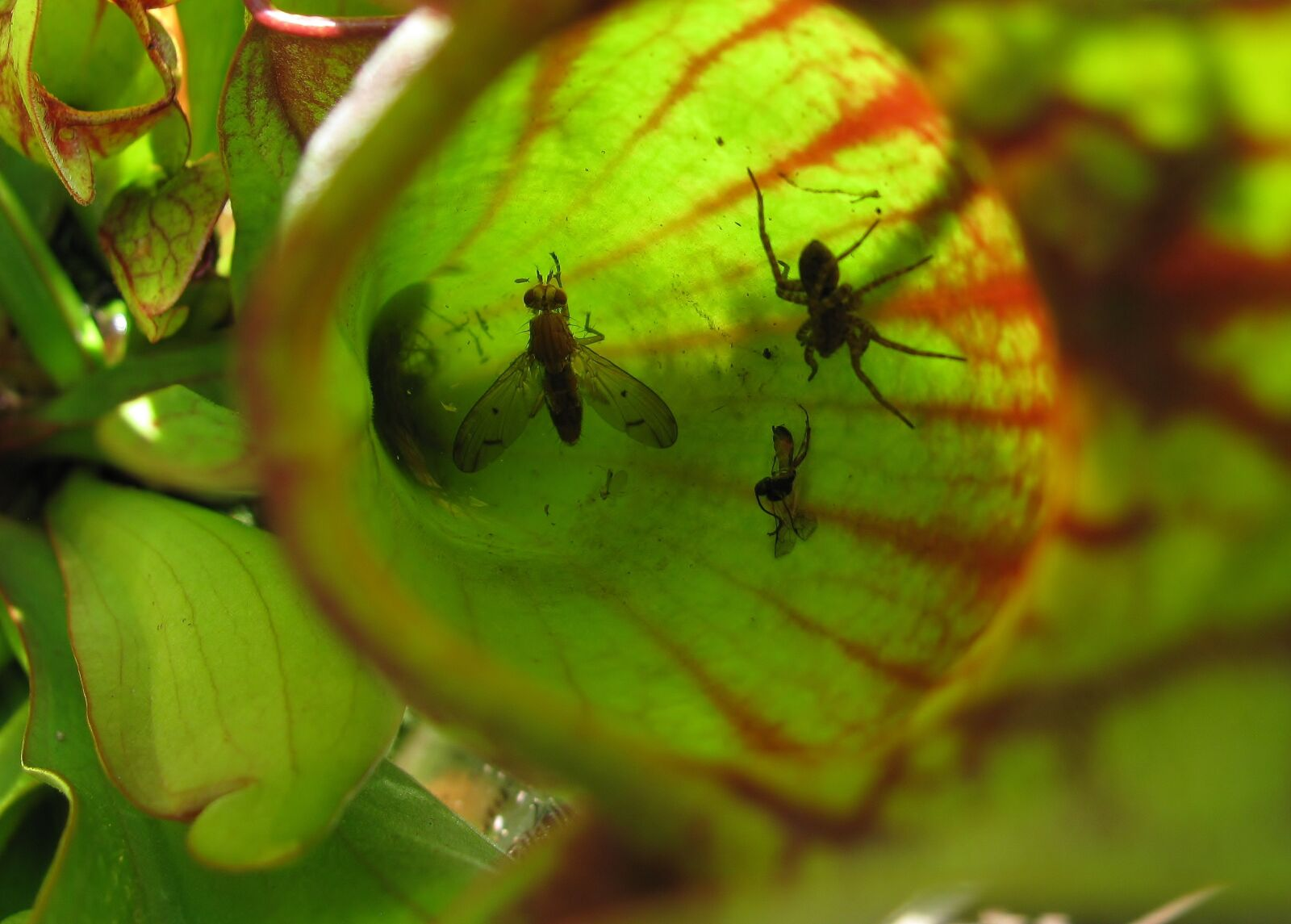 """Canon PowerShot SX110 IS sample photo. """"Pitcher plant, insect, food"""" photography"""