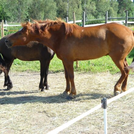 the finnish horse, horse, Nikon COOLPIX L19