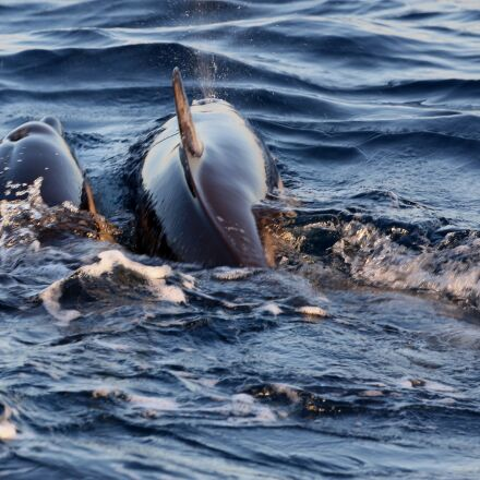 dolphins in the mating, Canon EOS 5D MARK III