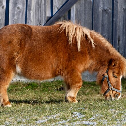pony, pasture, eating, Canon EOS 70D