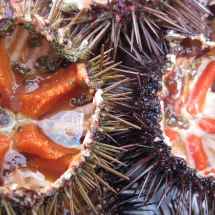 sea urchin, sea, thorn, Canon POWERSHOT A1100 IS