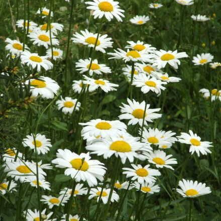 daisies, meadow, floral, Fujifilm FinePix S3100