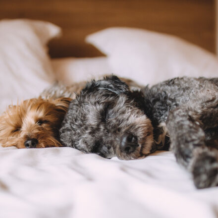 bed, animal, dog, dogs, Canon EOS 70D