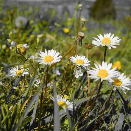 daisy, daisies, close up, Nikon 1 S1