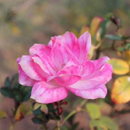 nature, flower, flora, Canon EOS 1100D