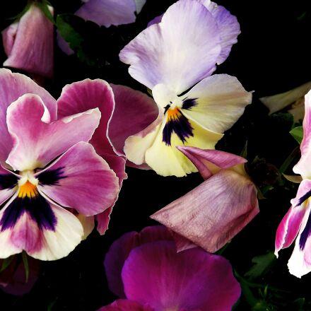 flora, flowers, pansies, Fujifilm FinePix S3400