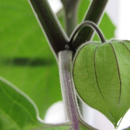 fruit green, healthy, physalis, Canon POWERSHOT SX520 HS