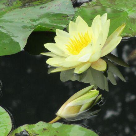 lotus, pool, sichuan university, Canon IXY 600F