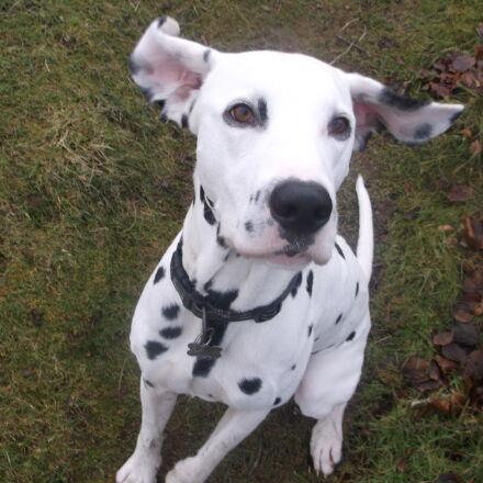dalmatian, dog, ears, male, Fujifilm FinePix AX550